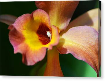 Floral Art - Intimate Orchid 3 - Sharon Cummings Canvas Print by Sharon Cummings