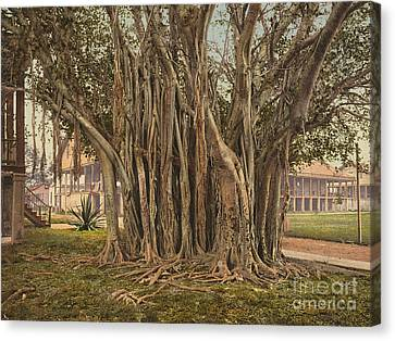 Florida: Rubber Tree, C1900 Canvas Print by Granger
