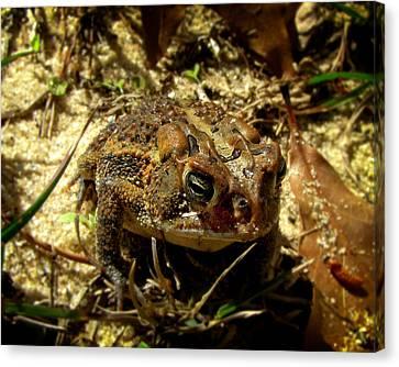 Florida Toad Canvas Print by Sandwalker Photos