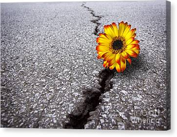 Flower In Asphalt Canvas Print by Carlos Caetano