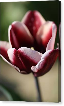 Flower In Color Canvas Print by Kevin Cummings