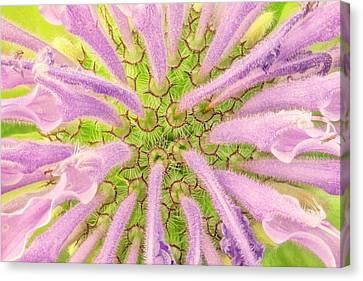 Flower Interior, Wild Bergamot Or  Bee Balm Canvas Print by Jim Hughes
