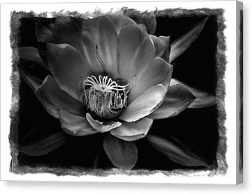 Flower Of One Night Canvas Print by Tom Bell