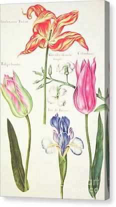 Flower Studies  Tulips And Blue Iris  Canvas Print by Nicolas Robert