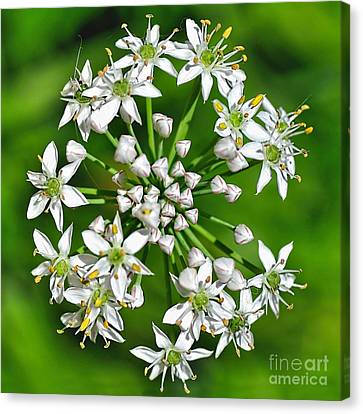 Flowering Garlic Chives Canvas Print by Kaye Menner