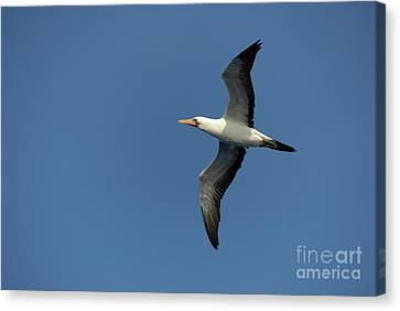 Flying Masked Booby In Flight Canvas Print by Sami Sarkis
