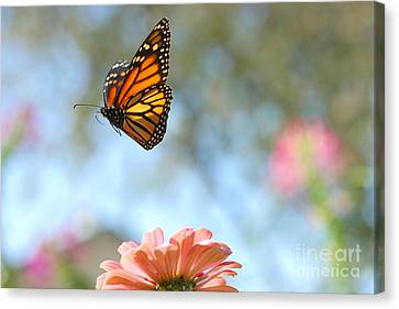Flying Monarch Canvas Print by Steve Augustin