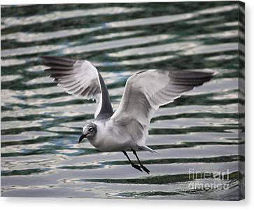 Flying Seagull Canvas Print by Carol Groenen