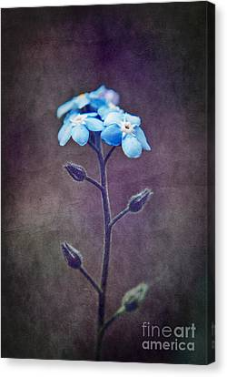 Forget Me Not 04 - S6ct7b Canvas Print by Variance Collections