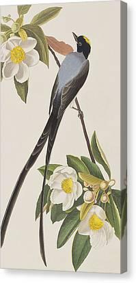 Fork-tailed Flycatcher  Canvas Print by John James Audubon