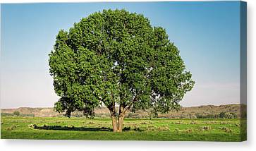 Fort Keough Tree Canvas Print by Todd Klassy