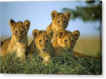 Four Lion Cubs Canvas Print by Johan Elzenga
