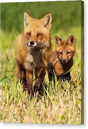 Fox Family Canvas Print by Mircea Costina Photography