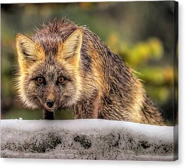 Fox Hunting In The Snow II Canvas Print by Paul W Sharpe Aka Wizard of Wonders