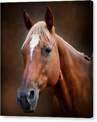 Fox - Quarter Horse Canvas Print by Sandy Keeton