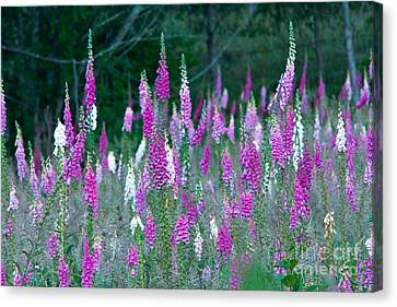 Foxglove Flowering Canvas Print by Inga Spence