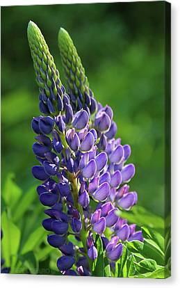 Lupin Canvas Print by Jerry LoFaro