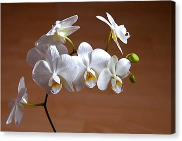 Fragile Orchid  Canvas Print by Svetlana Sewell
