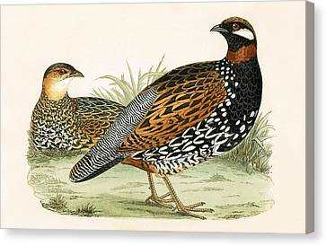 Francolin Canvas Print by English School