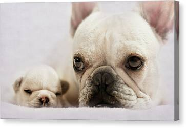 French Bulldog Canvas Print by Copyright © Kerrie Tatarka