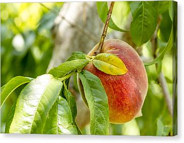 Fresh Peach Hanging In Orchard Canvas Print by Teri Virbickis