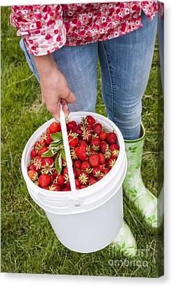 Fresh Strawberries Canvas Print by Elena Elisseeva