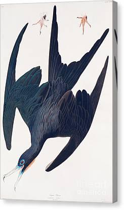Frigate Penguin Canvas Print by John James Audubon
