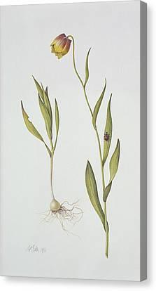 Fritillaria Michailovsky Canvas Print by Margaret Ann Eden