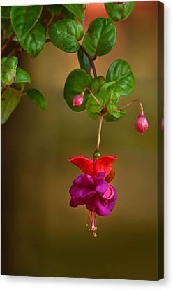Fuchsia Canvas Print by Ann Bridges