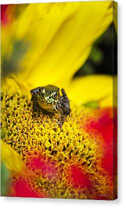 Funny Frog On A Sunflower Canvas Print by Christina Rollo