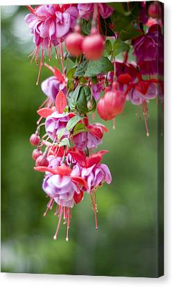 Fuschia Canvas Print by Rockstar Artworks