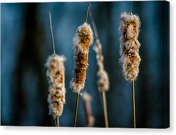 Fuzzy Cattails Canvas Print by Don L Williams