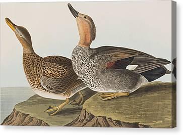 Gadwall Duck Canvas Print by John James Audubon