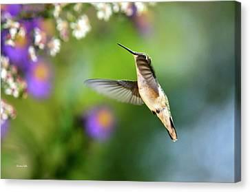 Garden Hummingbird Canvas Print by Christina Rollo