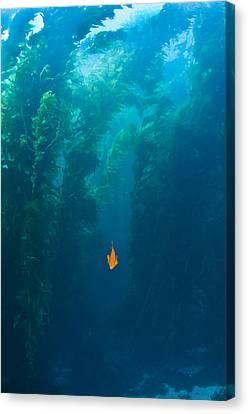Garibaldi Fish In Giant Kelp Underwater Canvas Print by James Forte