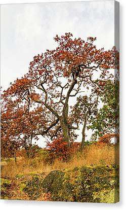 Garry Oaks 1 Canvas Print by Claude Dalley
