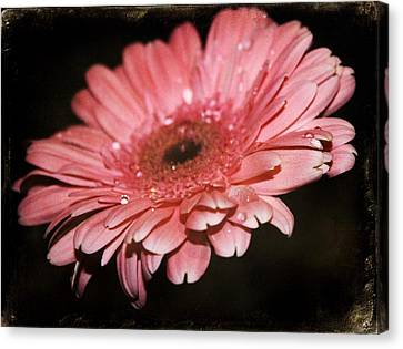 Gerber Canvas Print by Cathie Tyler