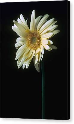Gerber Daisy Canvas Print by Laurie Paci