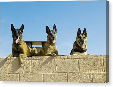 German Shephard Military Working Dogs Canvas Print by Stocktrek Images