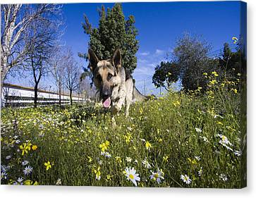 German Shepherd Canvas Print by Andre Goncalves