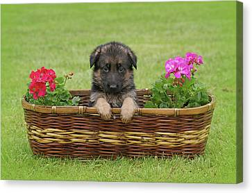 German Shepherd Puppy In Basket Canvas Print by Sandy Keeton