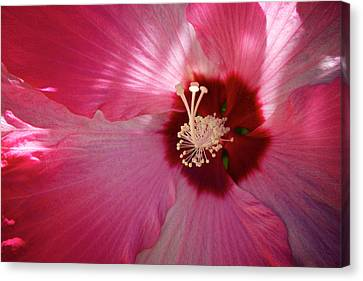 Giant Hibiscus Canvas Print by Mary Lee Dereske