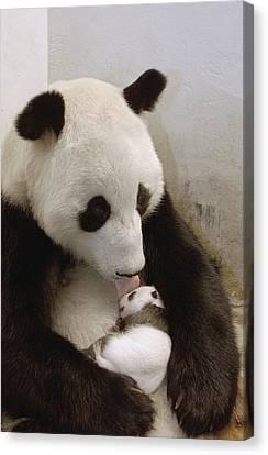 Giant Panda Ailuropoda Melanoleuca Xi Canvas Print by Katherine Feng