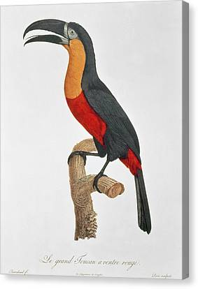 Giant Touraco Canvas Print by Jacques Barraband