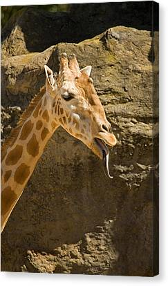 Giraffe Raspberry Canvas Print by Mike  Dawson