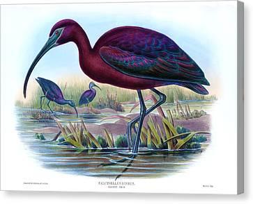 Glossy Ibis Antique Bird Print John Gould Hc Richter Birds Of Great Britain  Canvas Print by John Gould - HC Richter