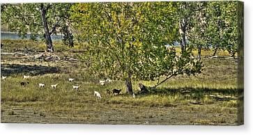 Goats On The Yellowstone Canvas Print by Aliceann Carlton