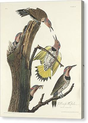 Gold-winged Woodpecker Canvas Print by John James Audubon