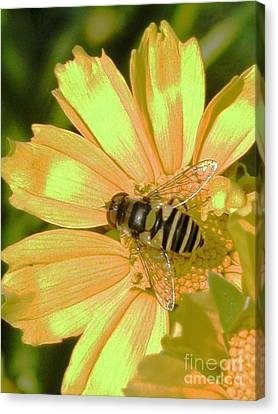 Golden Bee Canvas Print by Karol Livote