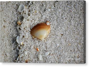 Golden Brown Sea Shell In Fine Wet Sand Macro Canvas Print by Shawn O'Brien